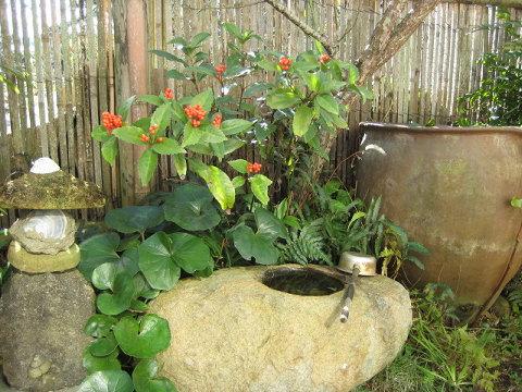 冬は庭が寂しいと、なんとなく植えたセンリョウだが、ささやかに実を結んでくれる。