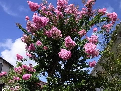 庭に植えてから20年以上経つ。このところよくカイガラムシなのか幹が黒くなる病気になることがある。