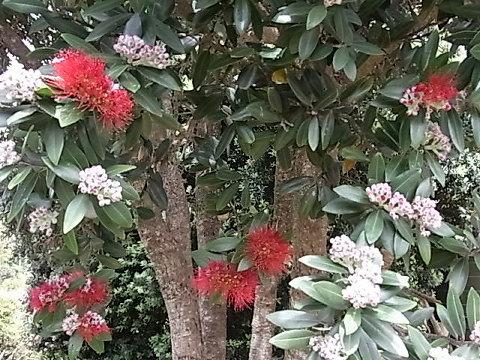 先住民族のマオリの言葉で紅色の花の咲く木という意味のポフツカワ。千倉の海岸道路沿いにこの木がずらっとあったらいいだろうな。などとイメージしてしまう。