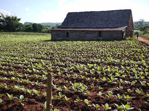葉巻タバコの栽培農家も訪ねた。納屋で発酵させた葉巻のラッピングを見学しテイスティング。結構おいしかったので購入した。