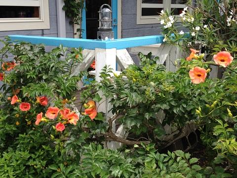 梅雨の時期にも眼を楽しませてくれるノウゼンカズラや夾竹桃、ランタナ。