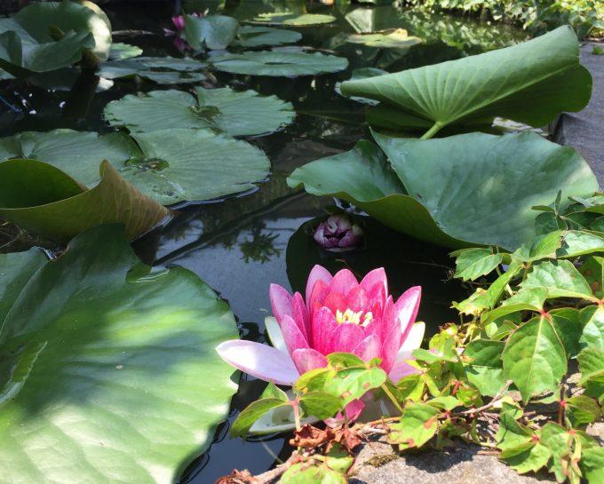 朝庭に出ると池の睡蓮が咲いていた。